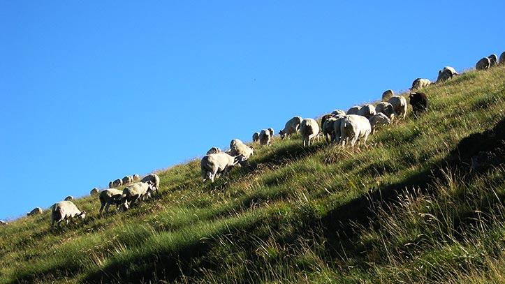 Troupeau de mouton en estives